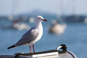 Seagull on the lookout for breeze - Photo: Andrea Francolini